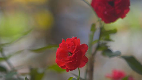 Macro Wind Shakes Red Rose Petals in Garden against Silhouettes Footage