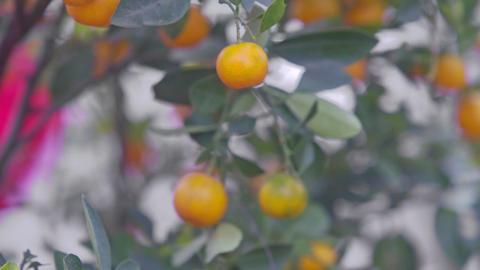 Closeup Mandarins on Tree Ready for Vietnamese New Year Footage