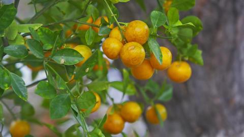 Closeup Ripe Tangerine Tree Symbolizes Vietnamese New Year 영상물