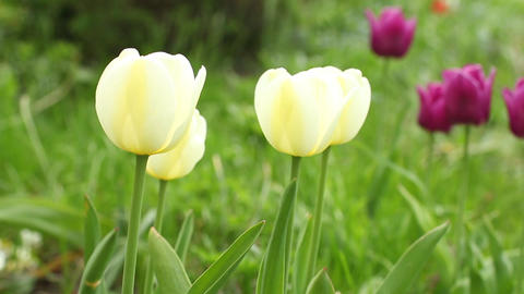 yellow tulips on green field Footage