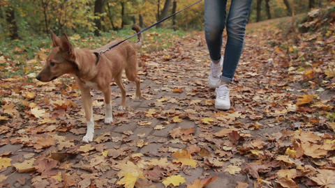 Cute pooch puppy with her owner in autumn park Footage