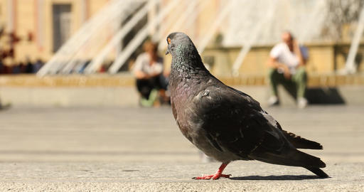Pigeons Feeding On The Square Footage