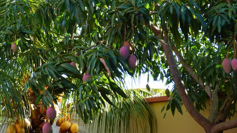 Manguo tree in bolivia, South America Foto