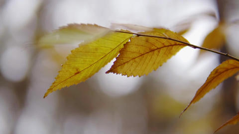 cinematic shot, slow motion. yellow leaves in an autumn forest. the first snow Footage