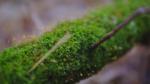 moss on a tree close up. macro shooting. cinematic shot, slow motion. ecology, a Footage