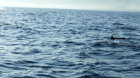 Group of dolphins passing by in front of boat in Bali, Indonesia Footage