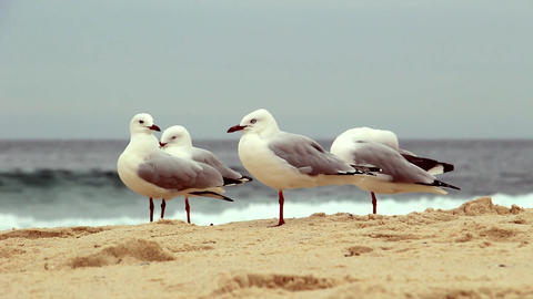 Seagulls on the sand Footage