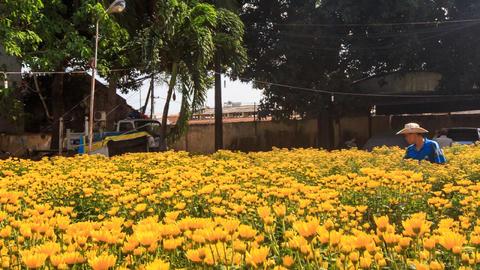 Man in Hat Waters Chrysanthemums Plantation in Vietnam Footage