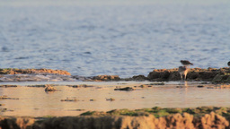 Whimbrels walking on a breakwater Footage