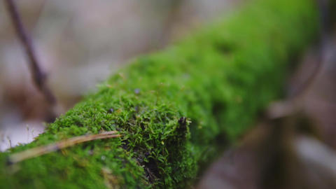 green moss on a tree branch in late fall. nature scene close-up. cinematic shot Footage