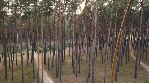Aerial view of evening in the coniferous forest Footage