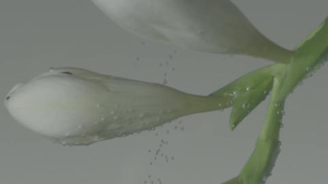 White Flower Buds Submerged in Water Background Footage