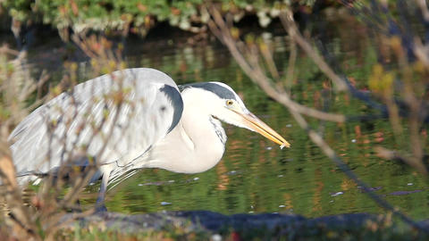 Grey Heron Eats Closeup Footage