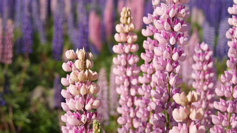 Pink Lupine Flowers Closeup Footage