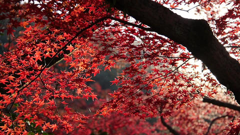 Sun Shines Through Red Autumn Leaves Footage