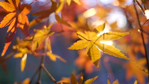 Golden Autumn Leaves Closeup Background Footage