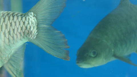 Grey Fish Swimming Background Footage