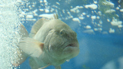 Big-Lipped Fish Near Bubbles Footage