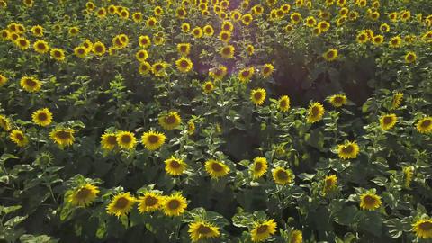 2 in 1 video. Aerial view of flowering sunflowers field Footage