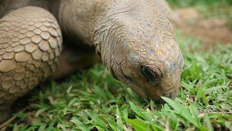 Tortoise Bites Blades of Grass Footage
