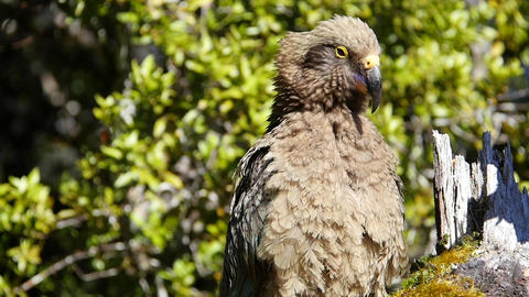 Fluffy Tan Bird Cleans Its Feathers Footage