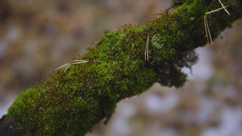 green moss on a tree branch in an autumn forest. cinematic shot. nature 영상물