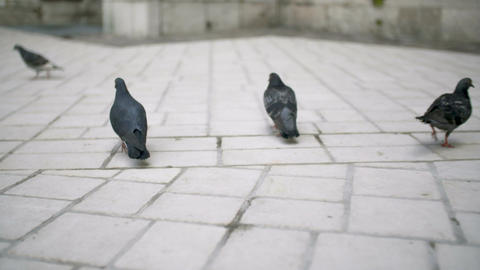 Flock of pigeons walking on town square Footage