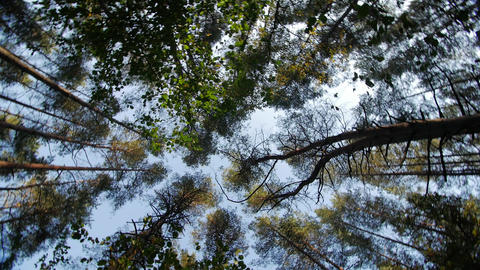 Look up to the blue sky in green woods through the tall trees, rotating and Footage