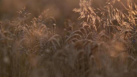 Golden Wheat Field Footage