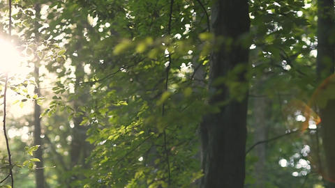 Morning Light in the Woods Footage