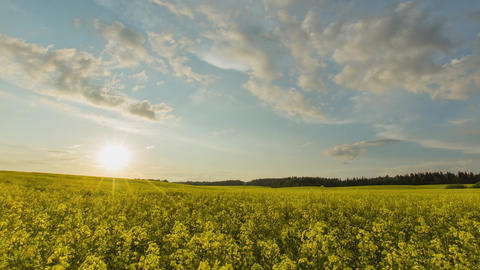 Sunset Over Yellow Rapeseed Field Footage
