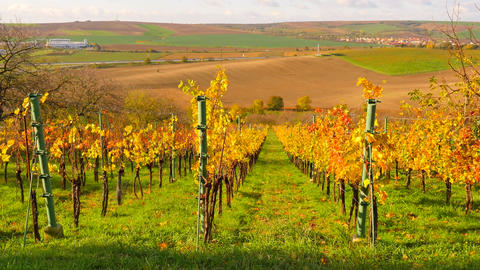 Autumnal vineyard. Yellow orange red leaves on grapevine plants in vinery, last Live Action