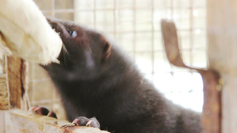 Black Aggressive Mink Footage