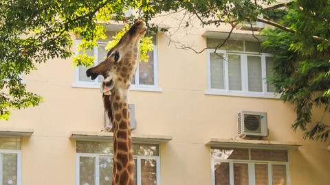 Giraffe Eats Peacefully Tree Leaves in City Footage