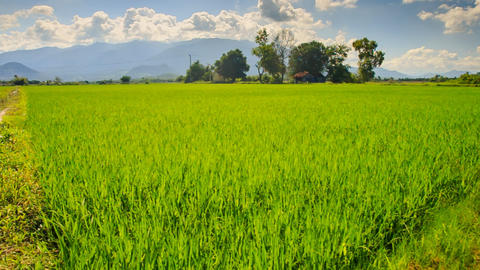 Camera Moves Along Rice Field By Tropical Trees Against Blue Sky stock footage