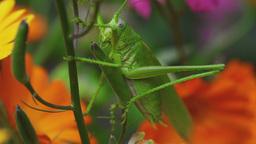 Green grasshopper on Aquilegia Footage