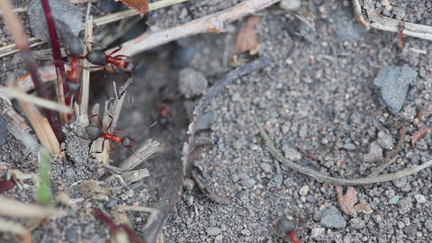 Ants digging their nest Footage
