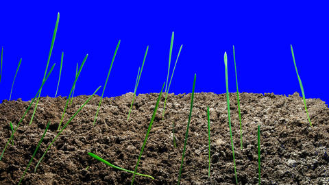 Plants come out of the earth on an isolated background. Time-Lapse Live Action