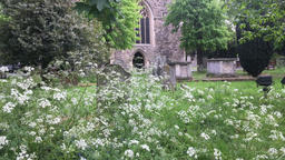 Cow parsley wild English flower growing in church entrance All Saints church Footage