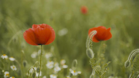 Beautiful Red Poppy field. Blooming Poppies Footage