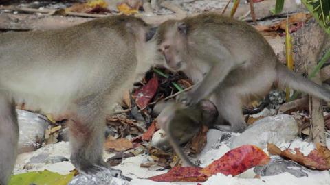 Monkey fight Footage