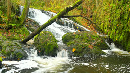 Small waterfall full of water after rain. Colorful leaves from maple tree and ライブ動画
