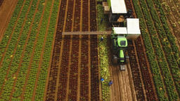 Cabbage harvesting by tractor. Field with rows of salad Footage