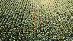 Cabbage field, drone footage Footage
