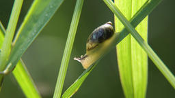 Snail on the grass Footage