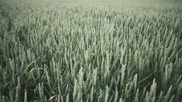 Field full of green wheat ビデオ