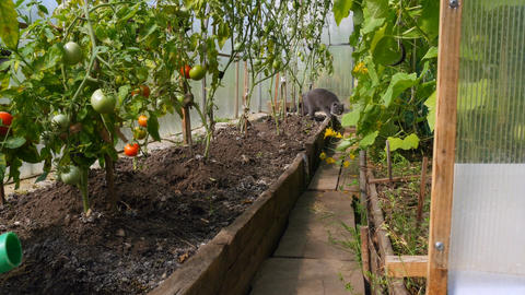Large gray cat walks through the greenhouse Footage