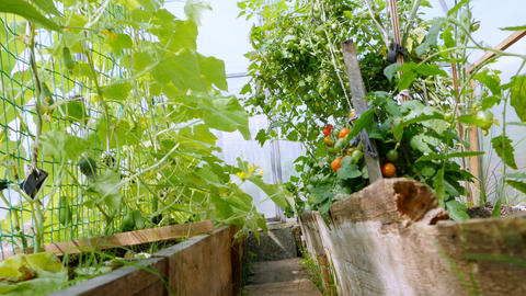 Vegetable plants in the greenhouse Footage