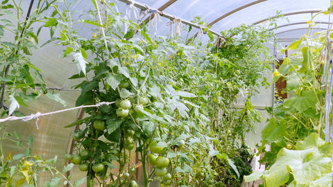 Many green and red plantations of tomatoes grow in the greenhouse Footage