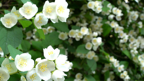 Mock Orange Blooms Stock Video Footage